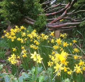 Daffodils-RJW-cropped